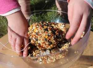 Rolling the pinecone in birdseed.
